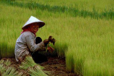 أهم المحاصيل الزراعية في العالم