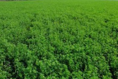 دراسة جدوى زراعة البرسيم الحجازى