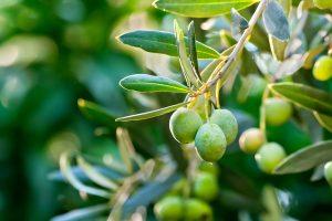 دراسة جدوى زراعة الزيتون