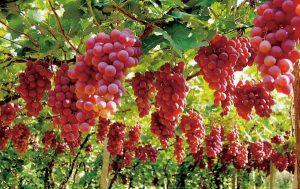 دراسة جدوى زراعة العنب في مصر