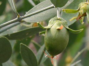 دراسة جدوى زراعة الجوجوبا