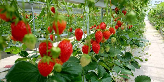 دراسة جدوى زراعة الفراولة