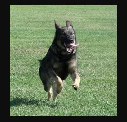 توفير-كلاب-الحراسة-و-المفرقعات-من-شركة-ماجنوم